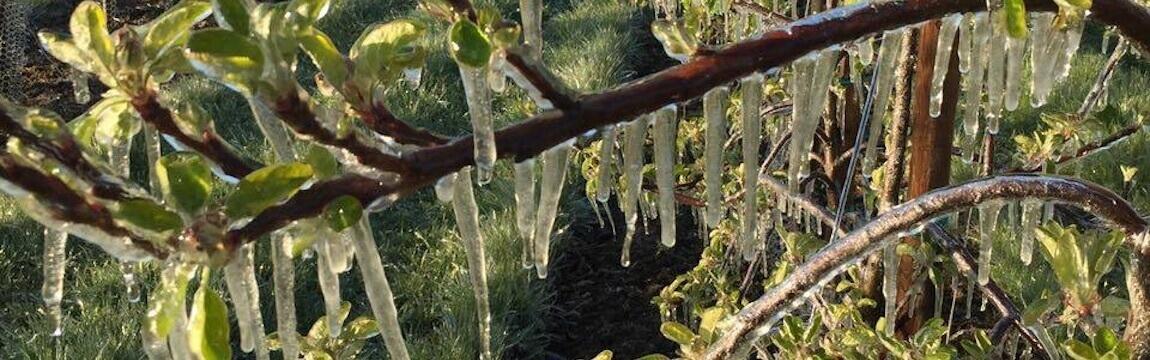 Frostberegnung bei Elbe-Obst im Alten Land