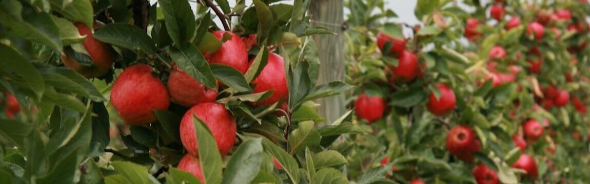 Apfelplantage von Elbe-Obst im Alten Land