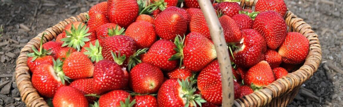 Korb mit Erdbeeren von Elbe-Obst aus dem Alten Land