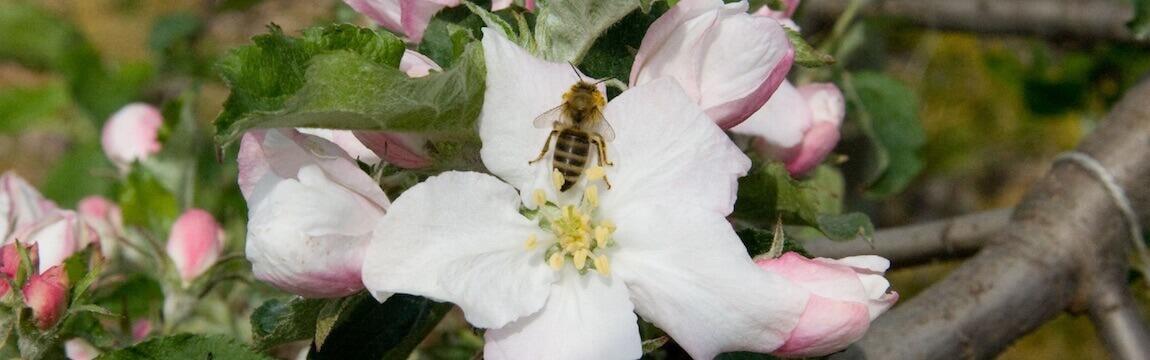 Apfelblüte mit Biene Elbe-Obst im Alten Land