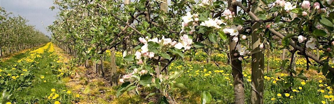 Apfelblüte Plantage von Elbe-Obst im Alten Land